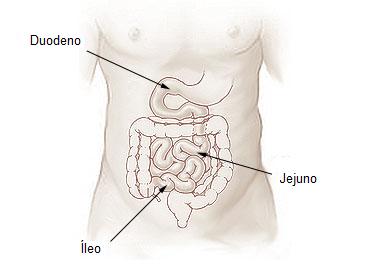 Partes do intestino delgado. Imagem: Wikimedia Commons.