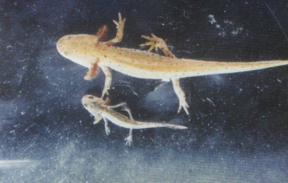 Fase larval do tritão-alpino (Ichthyosaura alpestris). Imagem: Wikimedia Commons.