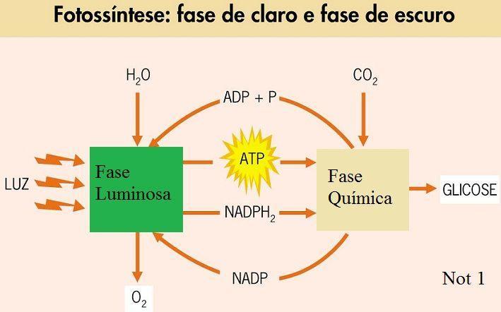 Esquema das reações físicas e químicas envolvidas na fotossíntese. Imagem: http://not1.xpg.uol.com.br/fotossintese-etapas-luminosa-e-escura-caracteristicas-e-fatores/