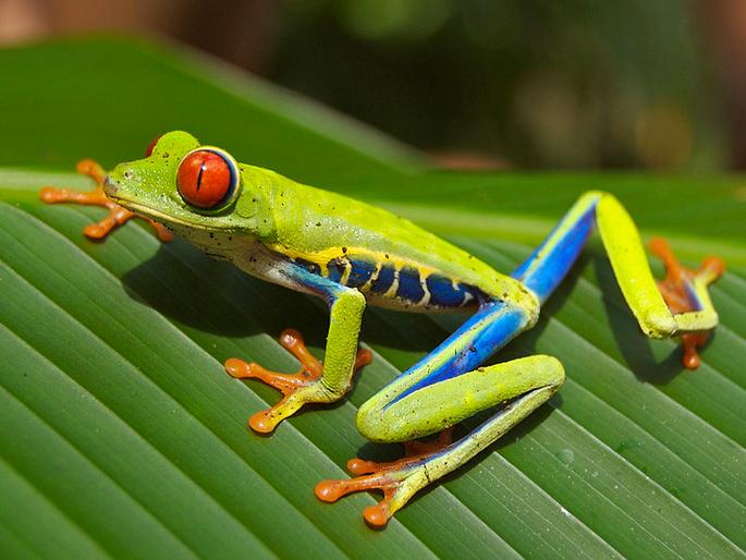 """A """"rã de olhos vermelhos"""" (Agalychnis callidryas), uma espécie arborícola. Imagem: Wikimedia Commons."""
