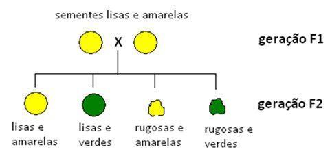 Genetica biologia cruzamento