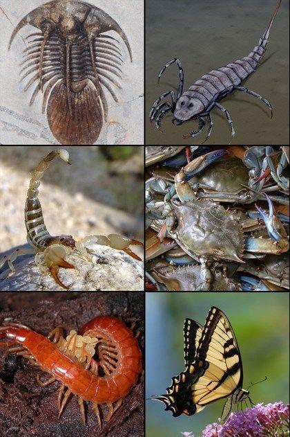 Artrópodes extintos e artrópodes atuais. Imagem: Wikimedia Commons.
