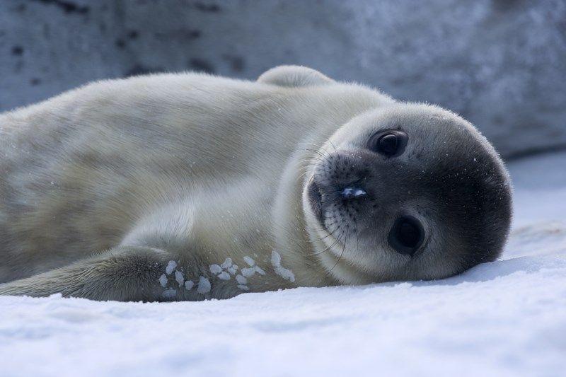 Focas são mamíferos adaptados à vida marinha. Imagem: Wikimedia Commons.