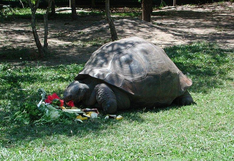 """A tartaruga das Galápagos """"Harriet"""" viveu até a idade estimada de 175 anos. Diz-se que o espécime foi coletado pelo próprio Charles Darwin. Imagem: Wikimedia Commons."""