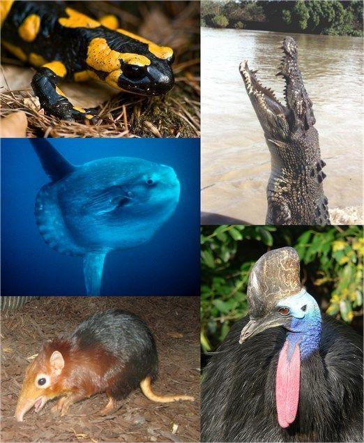 Organismos individuais de cada grande grupo de vertebrados. No sentido horário, começando do canto superior esquerdo: Salamandra-de-fogo, Crocodilo-de-água-salgada, Casuar do Sul, Rhynchocyon petersi, Peixe-lua. Imagem: Wikipedia.