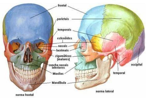 Ossos do corpo humano for O osso esterno e dividido em