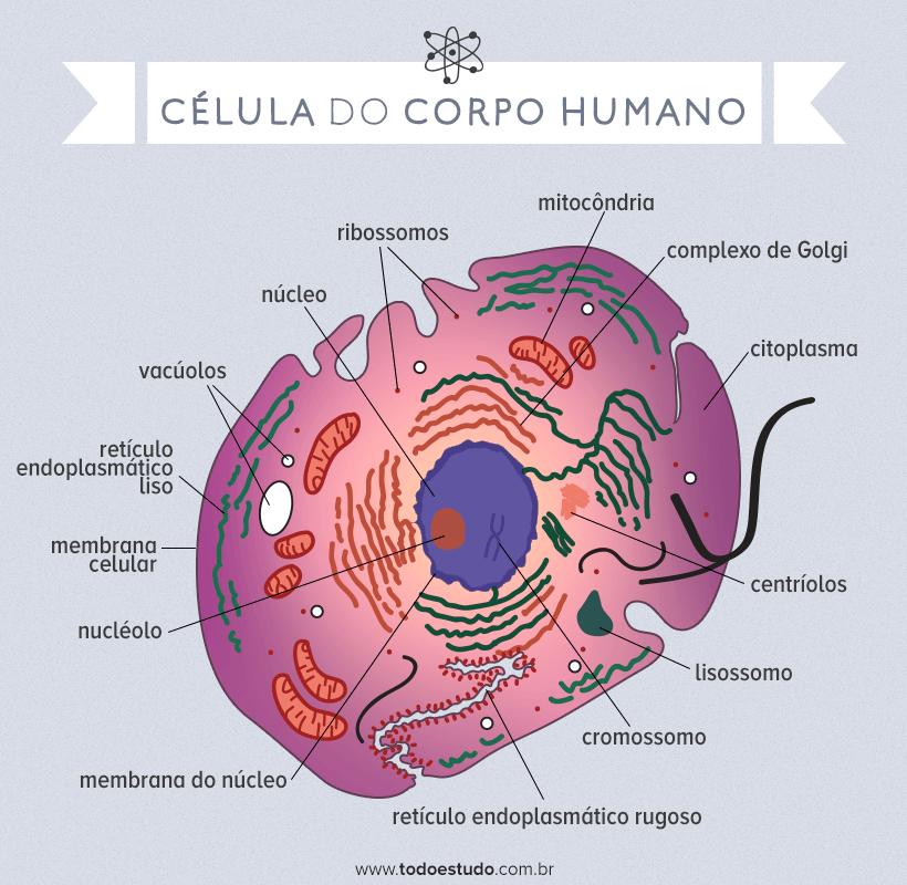 Células Do Corpo Humano Estrutura Ilustrada E Quais Os