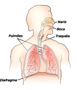 diafragma órgão