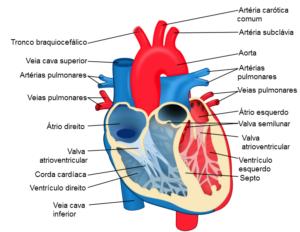 coração humano desenho