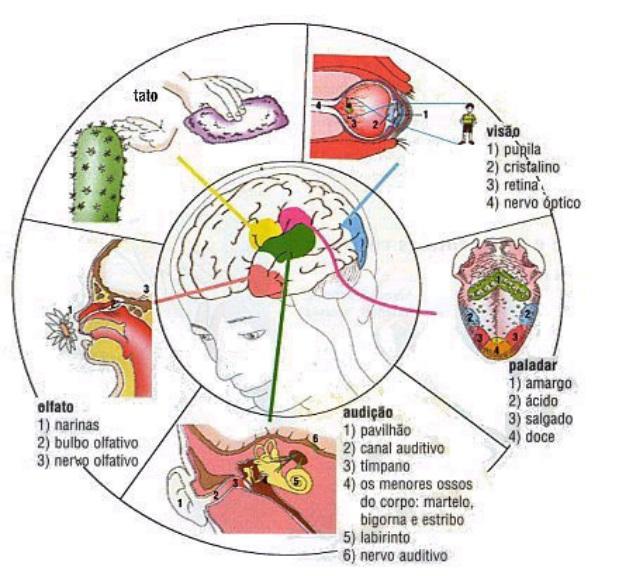 5 sentidos do corpo humano