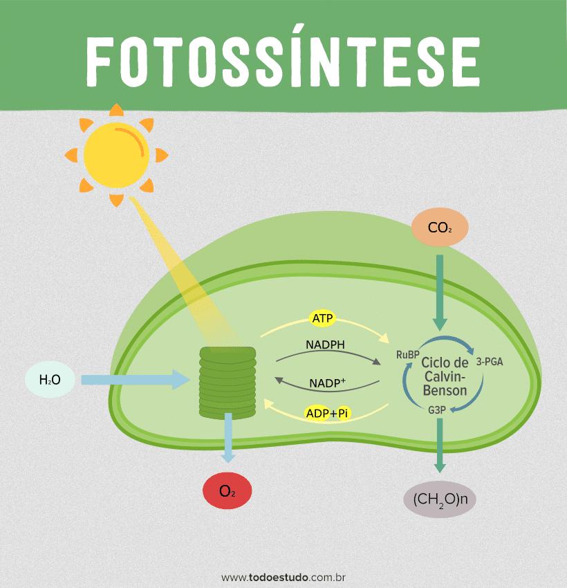 Fotossíntese: aprenda sobre as fases fotoquímica e bioquímica